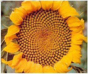 tournesol-couleuryourte-habitat-insolite-yourte-tipi-teepi-teepee-cabane-dome-zome-roulotte-tournesol